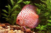 Bundbarsche - Diskusfisch - Symphysodon