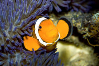 Anemone - Falscher Clownfisch - Amphiprion ocellaris